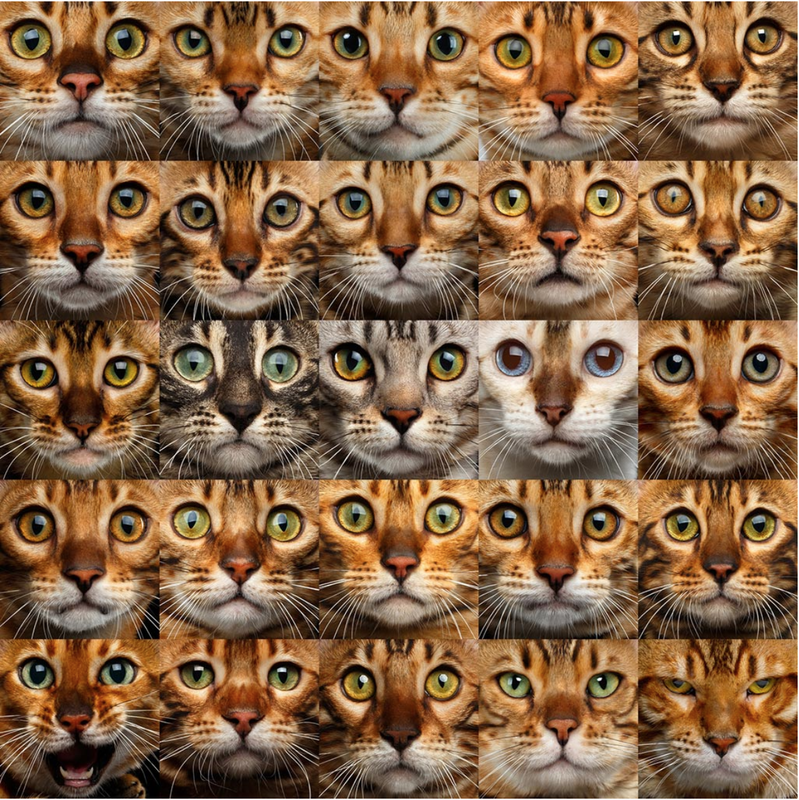 Bengal Colors and Patterns - REGISTERED BENGALS